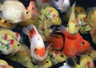 Furor en China por nueva moda de peces tatuados
