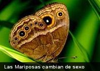 La temperatura cambia el rol sexual de las mariposas