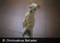 Video del Momento: El Chichuahua Bailador