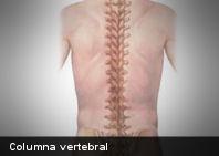 ¿De cuántos huesos está compuesta la columna vertebral?