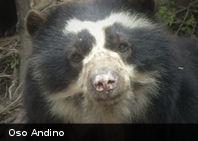 Te presentamos al Oso Andino, el único oso suramericano