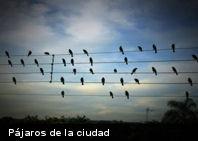Los pájaros de la ciudad cantan más que los del campo