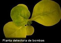 Curioso: una planta que puede detectar bombas