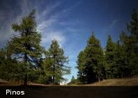 Los pinos se adaptarán al calentamiento global mejor que otras especies
