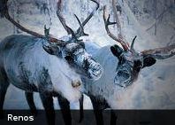 Rebaño de renos canadienses ha bajado un 87 % en los últimos diez años