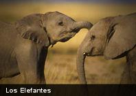 Revelan cómo elefantes mantienen fresca temperatura corporal