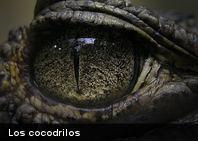 Descubren en Marruecos fósil de cocodrilo de 95 millones de años de antigüedad