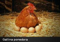 ¿Somos gallinas si colocamos «poner» en todas partes?