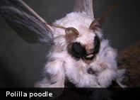 'La polilla poodle' uno de los animales más extraños del mundo, vive en Venezuela (+Foto)