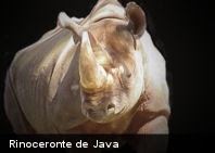Ecología: el rinoceronte de Java está a punto de desaparecer