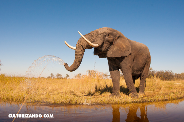 20 curiosidades sobre los elefantes culturizando - Fotos de elefantes bebes ...