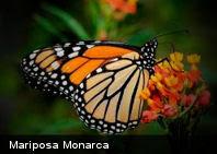 Ecología: en Inglaterra están desapareciendo las mariposas