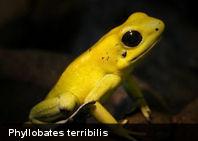 Te presentamos el Terribilis, el vertebrado más venenoso del mundo