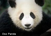 Estudio revela que los pandas se parecen a los perros
