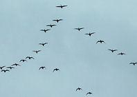 ¿Por qué las aves migran en formación de «V»?