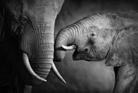 La ciencia confirma que los elefantes pueden sufrir por amor
