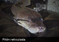 ¿Cuál es la serpiente más larga del mundo?