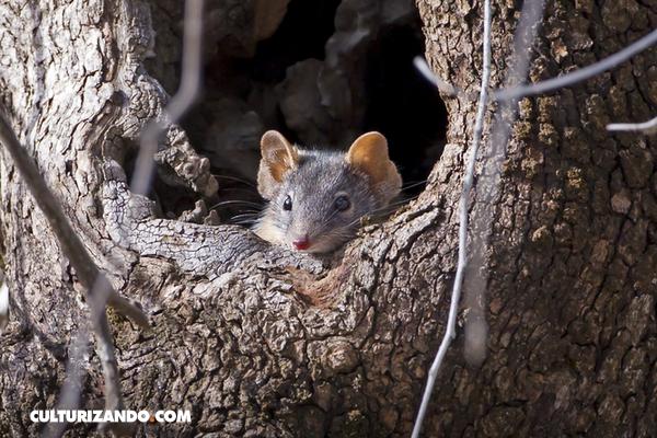 Los marsupiales copulan con tanta intensidad que los machos mueren de estrés