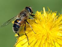 Científicos descubren nueva causa de la muerte masiva de abejas