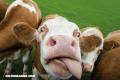 10 curiosidades sobre las vacas (+Video)