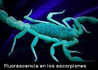 Curioso: La fluorescencia en los escorpiones