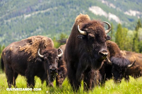 El bisón nuevo símbolo nacional de EE.UU.