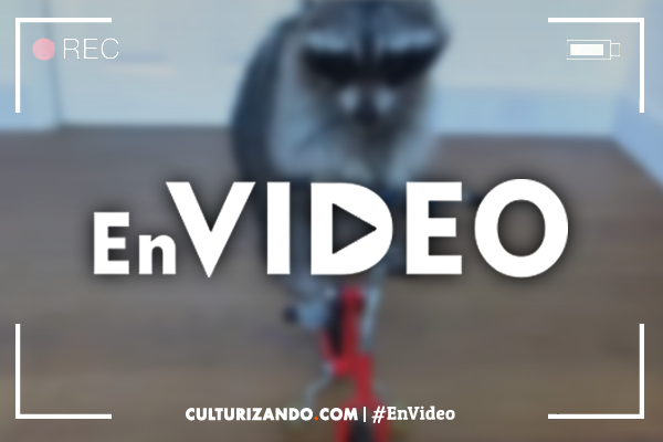 En Video: ¡Mapache ciclista!