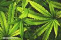 El cannabis podría causar una especie de 'caos cognitivo' en el cerebro