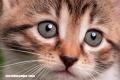 La Nota Curiosa: ¿Cómo se produce el ronroneo de los gatos?