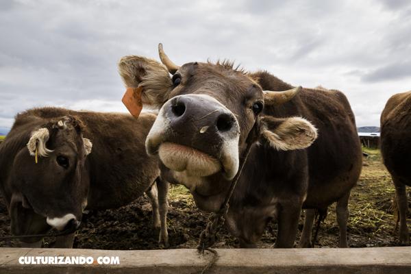 La Nota Curiosa: ¿Qué tanto contaminan el ambiente los gases de las vacas?