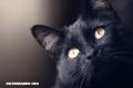 La Nota Curiosa: ¿Por qué los gatos negros se asocian a la mala suerte?