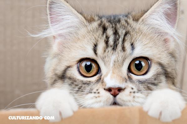 La Nota Curiosa: ¿Por qué los gatos amasan?
