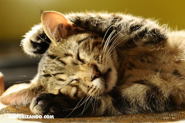 La Nota Curiosa: ¿Por qué ronronean los gatos?
