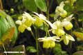 Epimedium, un 'Viagra' natural (+ Video)