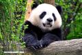 Cosas fascinantes que no sabías sobre los osos pandas (+Fotos)