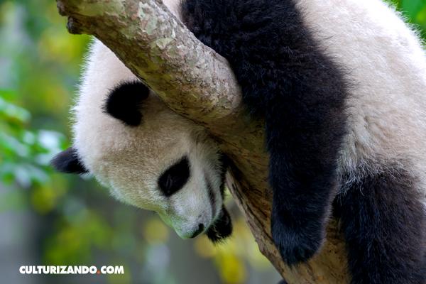 oso-panda-03