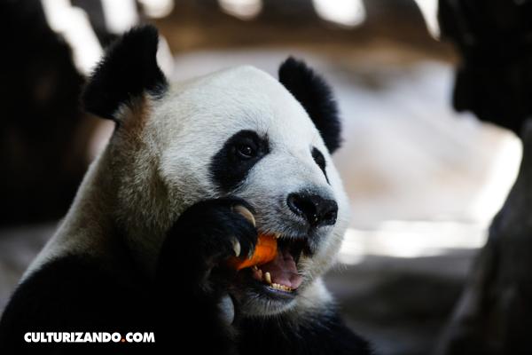 oso-panda-05