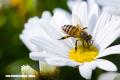 Las abejas sí están en peligro de extinción