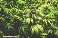 Estudio revela que el cannabis puede alterar la visión nocturna