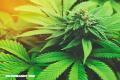 La Nota Curiosa: ¿El cannabis abre el apetito?