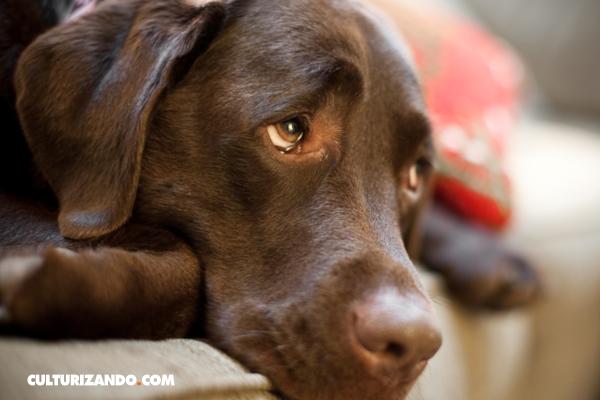 Los perros pueden sufrir de estrés y depresión a causa de la soledad