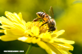 Nanopartículas hechas con veneno de abeja son capaces de destruir el VIH