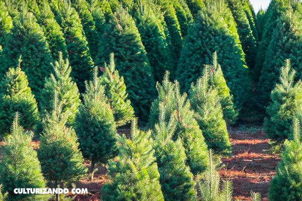 ¿Qué cantidad de oxígeno produce un árbol de Navidad?