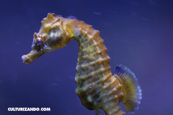 ¿Los caballitos de mar mueren de amor?