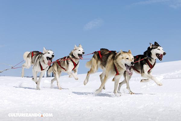 Cosas que no sabías sobre los perros husky siberiano (+Fotos)