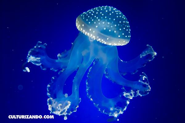 10 datos que no sabías de las medusas (+Video)