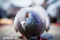 La Nota Curiosa: ¿Cómo se orientan las palomas mensajeras?