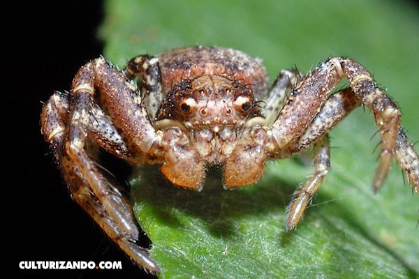 Curiosa naturaleza: La araña cangrejo