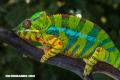 La Nota Curiosa: ¿Por qué los camaleones cambian de color?