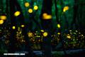 Cosas fascinantes que no sabías sobre las luciérnagas